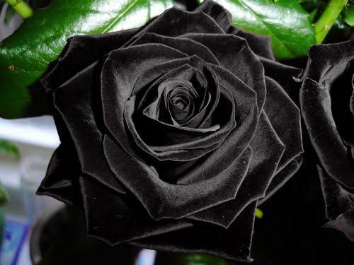 Hình ảnh Hoa hồng đen - màu đen huyền bí
