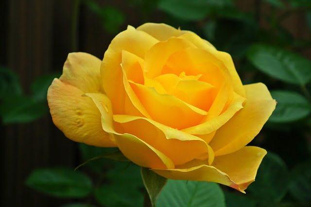 Hình ảnh Hoa hồng vàng - Bông hồng vàng đẹp