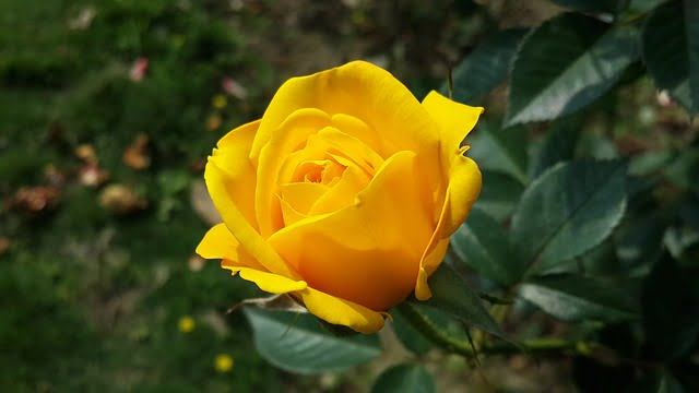 Hình ảnh Hoa hồng vàng - Hoa hồng vàng đẹp nhất
