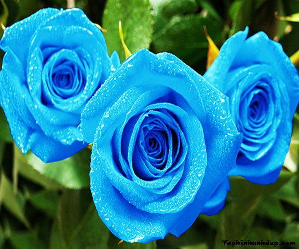 Hình ảnh Hoa hồng xanh - Cành Hoa hồng xanh đẹp nhất