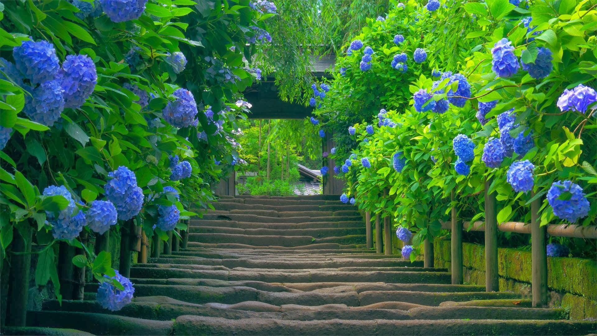 Ảnh bìa đẹp làng hoa cẩm tú cầu tuyệt đẹp