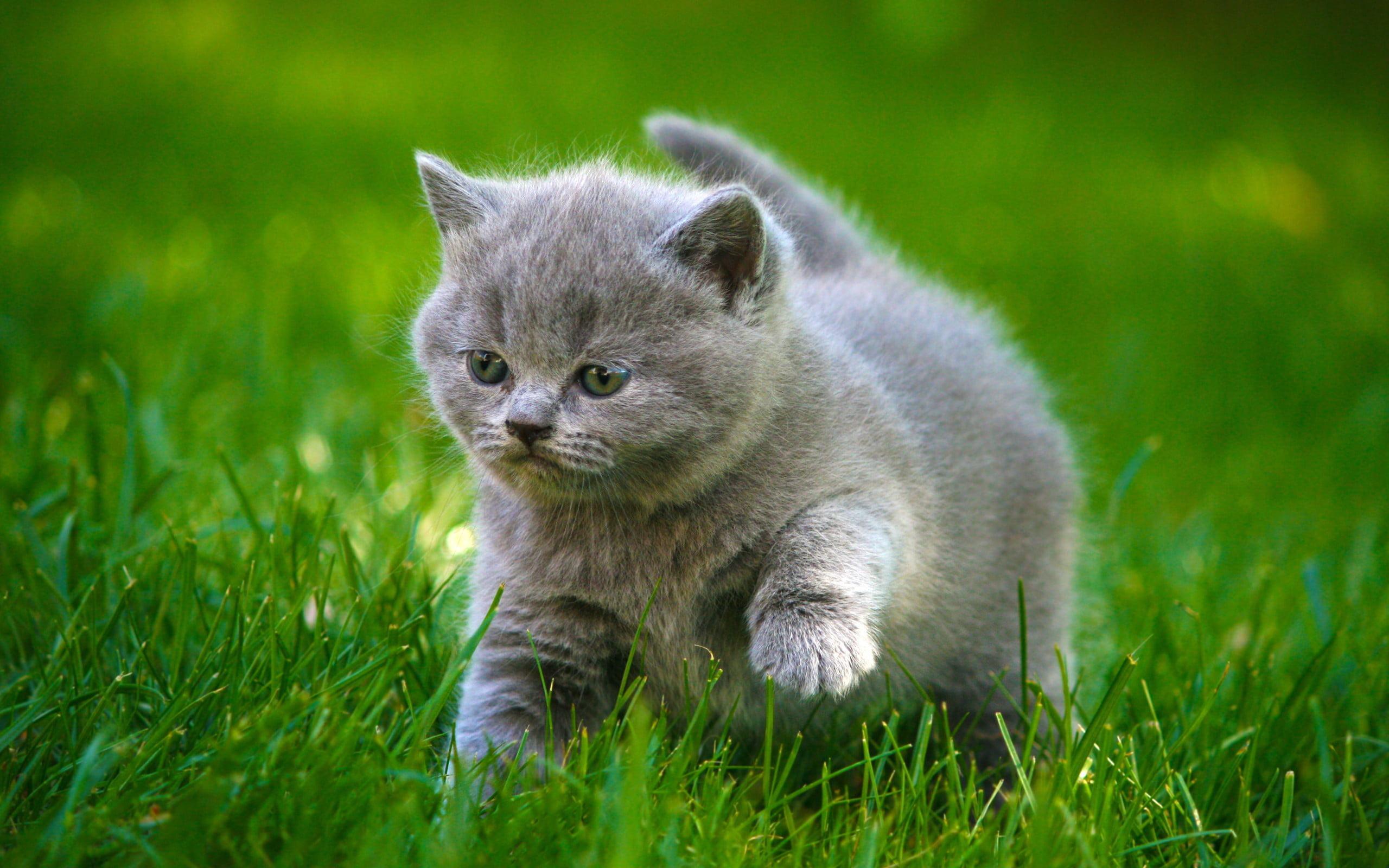 Hình ảnh dễ thương của chú mèo con đang đi trên cỏ