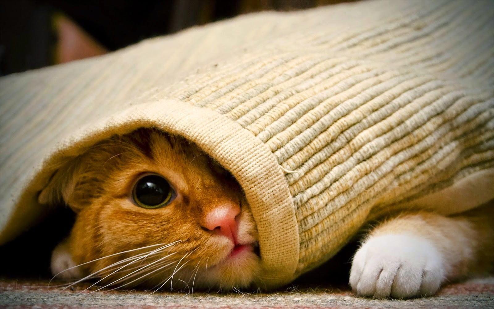 Hình ảnh chú mèo con dễ thương và đáng yêu cuộn tròn trong chiếc khăn