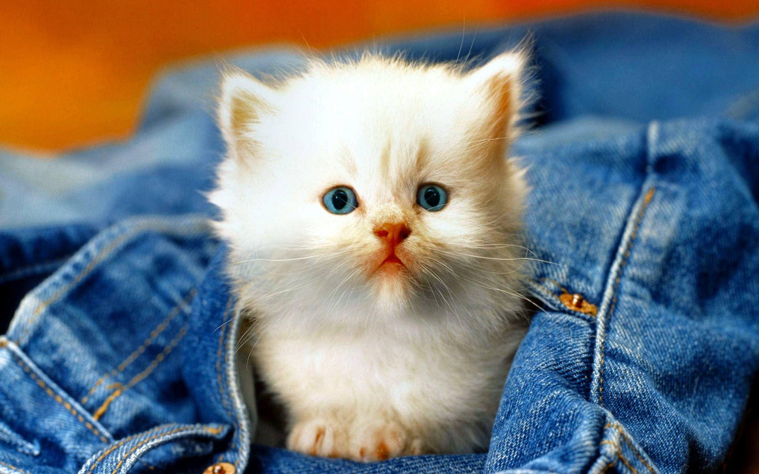 Hình ảnh mèo côn tinh nghich với quần áo của chủ nhân trông rất đáng yêu