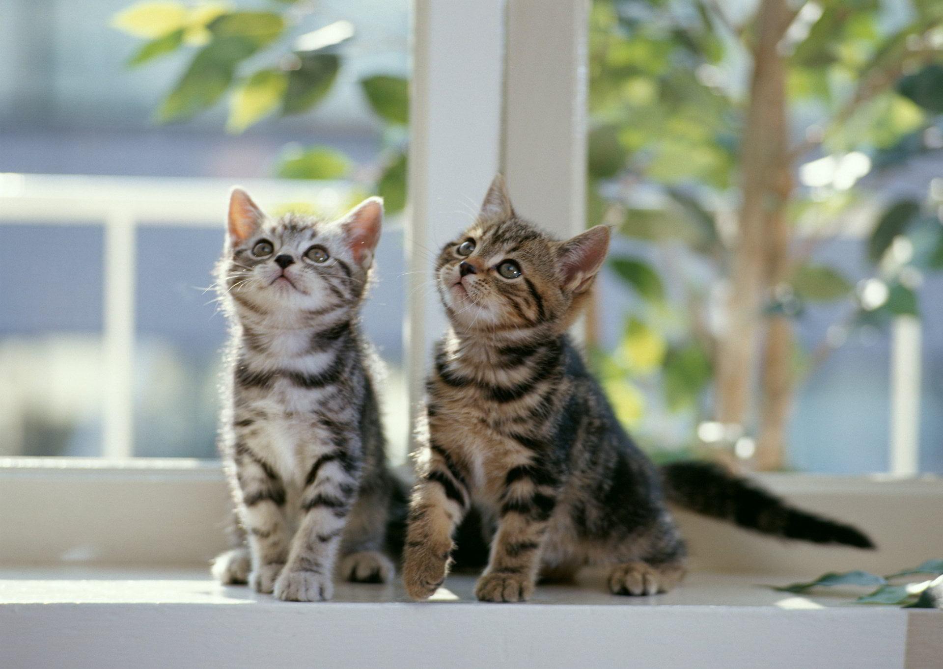 Hình ảnh dễ thương của hai chú mèo con đang ngắm nhìn thứ gì đó