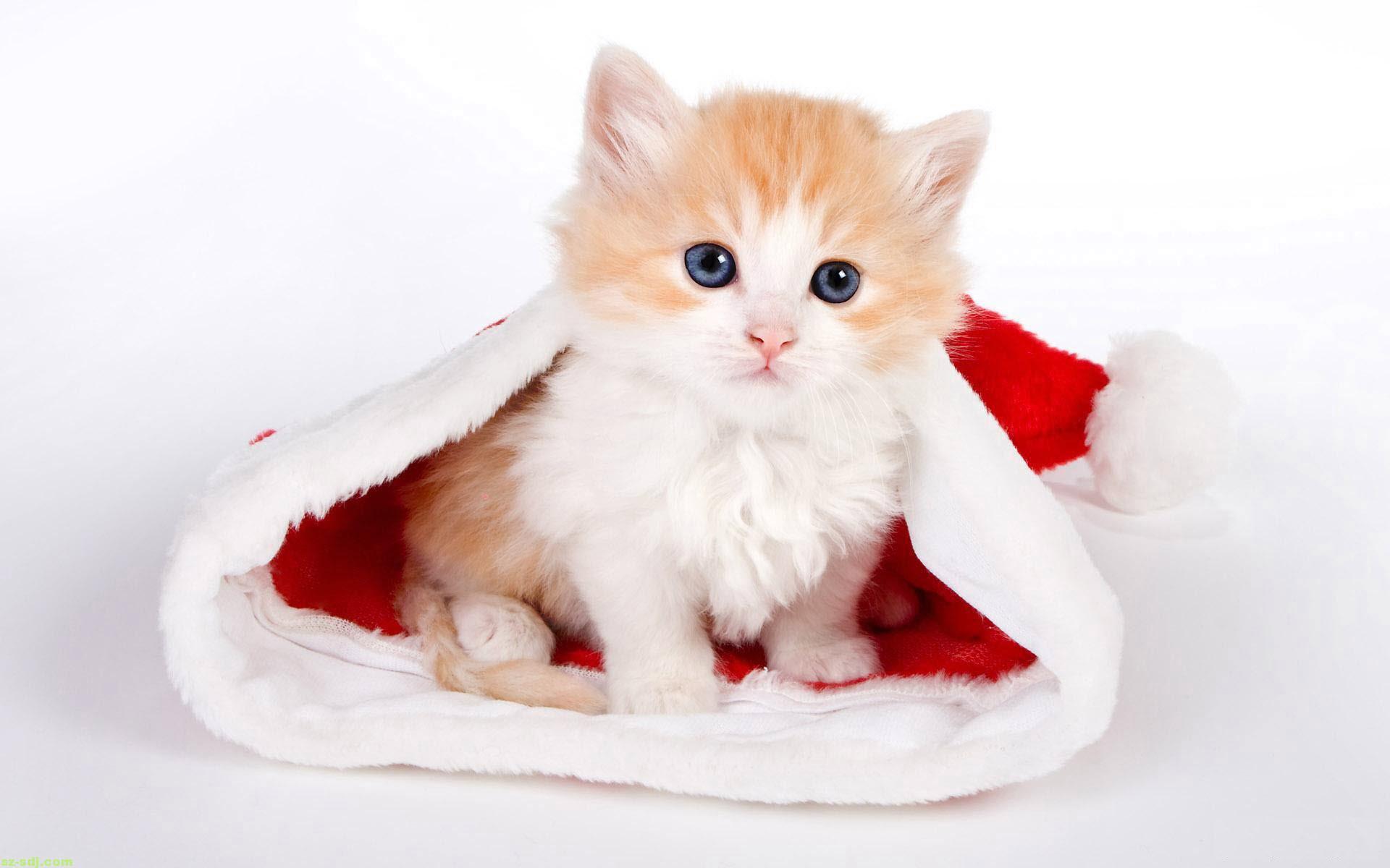Hình ảnh cực kỳ dễ thương của mèo con trong chiếc mũ của ông già noel