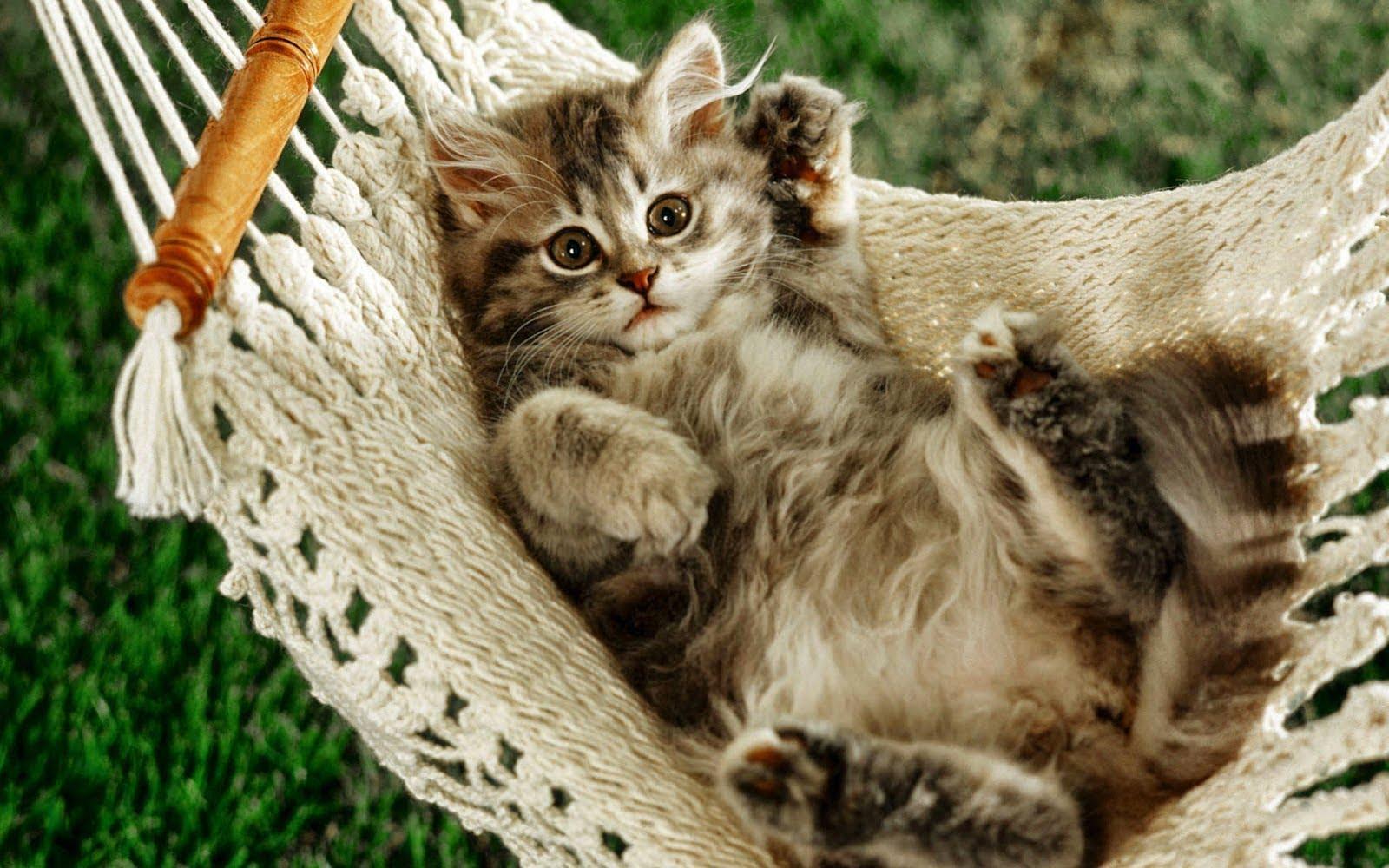 Hình ảnh chú mèo con đang tạo dáng trên chiếc võng được chủ nhân ghi lại