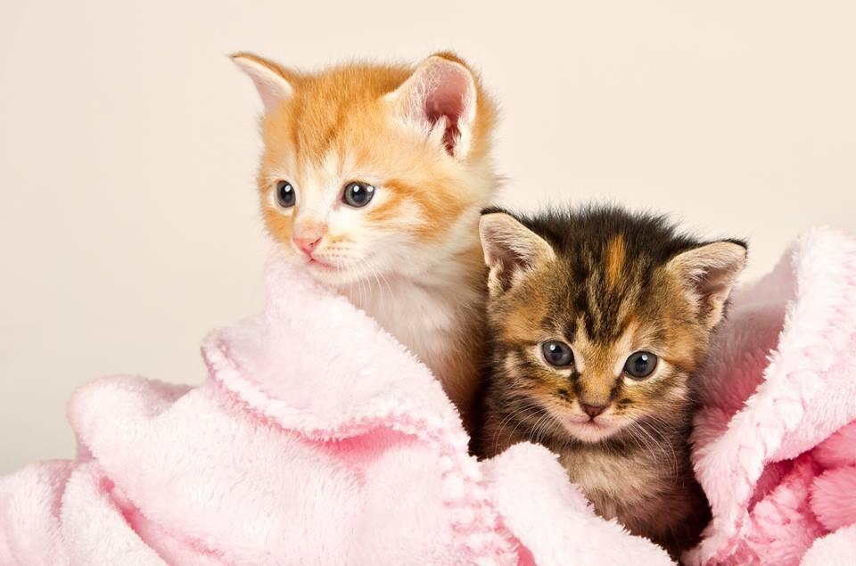 Hình ảnh hai mèo con nằm trọn trong chiếc khắn vô cùng đáng yêu