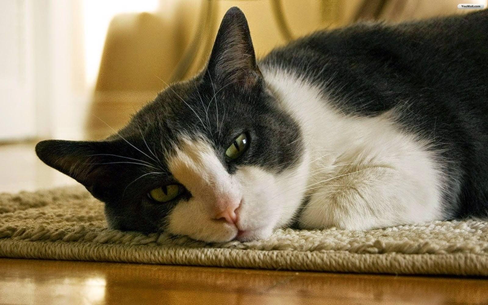 Hình ảnh chú mèo con đang buồn ngủ sau khi đùa nghịch cũng dễ thương
